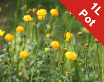 Globeflower 'Superbus' Trollius × cultorum - 1L Pot