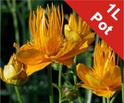 Globe Flowers Trollius Golden Queen - 1L Pot