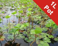 European Waterclover Marsilea Quadrifolia - 1L Pot