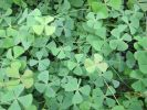 1L European Waterclover Marsilea Quadrifolia