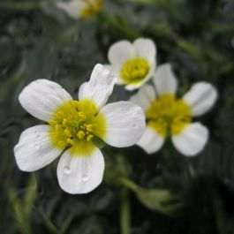 Common Water Crowfoot - Ranunculus aquatilis - Bunch of 5