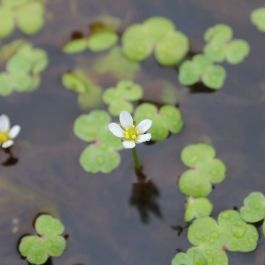 3x Ivy-Leaved Crowfoot - Ranunculus hederaceus - 9cm pots