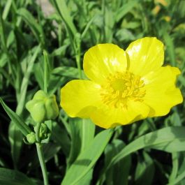Large Large-Flowered Greater Spearwort Ranunculus lingua 'Grandiflorus - 3L Pot