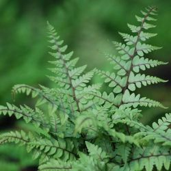 1L Eared Lady Fern Athyrium otophorum 'Okanum'