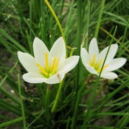 1L Peruvian Swamp Lily Zephyranthes candida 1L Pot