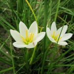 Peruvian Swamp Lily Zephyranthes candida 3 x 9cm Pots