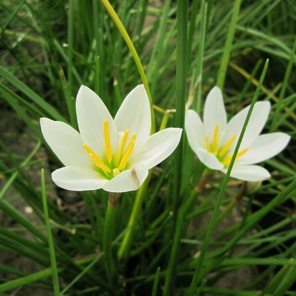Peruvian Swamp Lily Zephyranthes candida 1L Pot