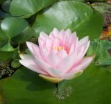 Water Lily 'Darwin' - Nymphaea 'Hollandia' - 1L Pot