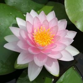 Extra Large Water Lily 'Darwin' - Nymphaea 'Hollandia' - 30L Pot