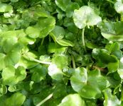 Ivy-Leaved Crowfoot - Ranunculus hederaceus - 1L Pot