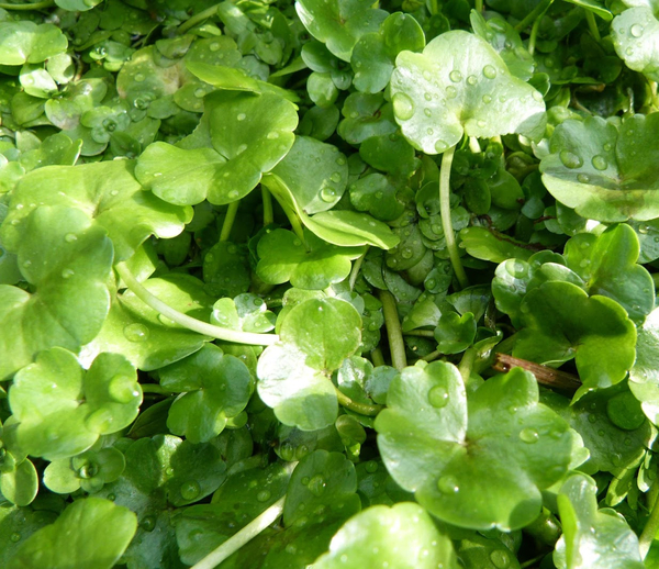 1L Ivy-Leaved Crowfoot - Ranunculus hederaceus