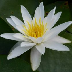 Extra Large Water Lily 'Alba' - Nymphaea 'Alba' - 30L Pot
