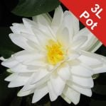 Double Petal White Water Lily - Nymphaea 'Gonnere' - 3L Pot