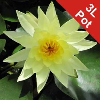 Double Petal Yellow Water Lily - Nymphaea 'Joey Tomocik' - 3L Pot
