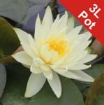 Water Lily 'Lemon Mist' - Nymphaea 'Lemon Mist' - 3L Pot