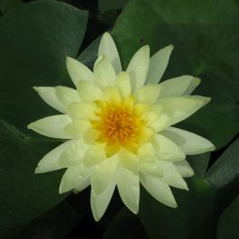 Large Water Lily 'Lemon Mist' - Nymphaea 'Lemon Mist' - 3L Pot