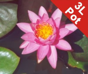 Large Double Petal Water Lily 'Madamme Wilfron Gonnere' - Nymphaea 'Madamme Wilfron Gonnere' - 3L Pot