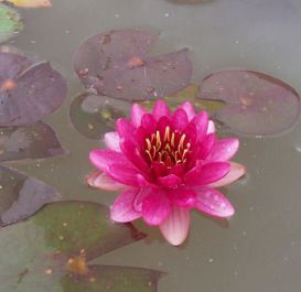 2L Water Lily 'Perry's Baby Red' - Nymphaea 'Perry's Baby Red' - 2L Pot