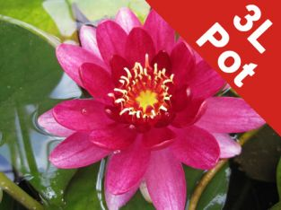Large Water Lily 'Perry's Baby Red' - Nymphaea 'Perry's Baby Red' - 3L Pot