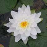 Water Lily 'Perry's Double White' Nymphaea 'Perry's Double White' - 3L Pot