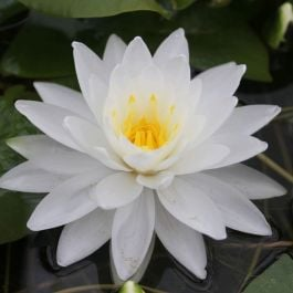 Large Water Lily 'Perry's Double White' Nymphaea 'Perry's Double White' - 3L Pot