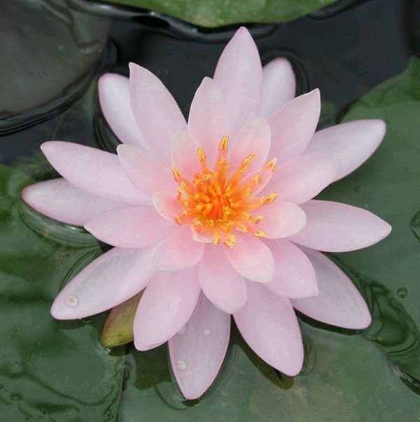 Large Water Lily 'Rose Arey' Nymphaea 'Rose Arey' - 3L Pot