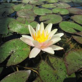 Large Water Lily 'Sioux' - Nymphaea 'Sioux' - 3L Pot