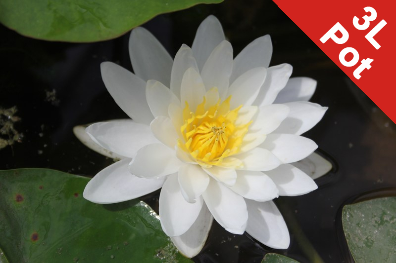 Large Water Lily 'White Sultan' - Nymphaea 'White Sultan' - 3L Pot