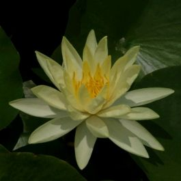 Large Water Lily 'Yellow Sensation' - Nymphaea 'Yellow Sensation' - 3L Pot