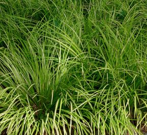Large Sweet flag Acorus calamus - 3L