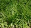 1L Sweet flag Acorus calamus - Cut Back