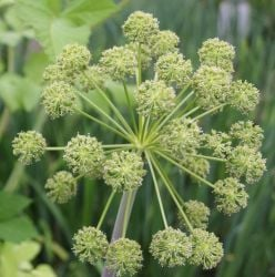 Large Angelica Angelica archangelica - 3L Pot