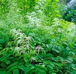 Goat's Beard Aruncus sylvester r - 3L Pot - Cut Back