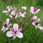 Flowering Rush Butomus umbellatus - 3L Pot