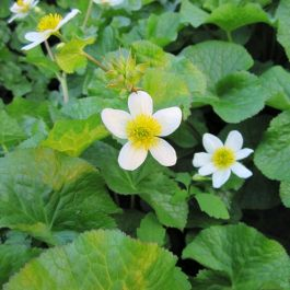 Large Marsh Marigold 'Alba' Caltha palustris alba - 3L Pot