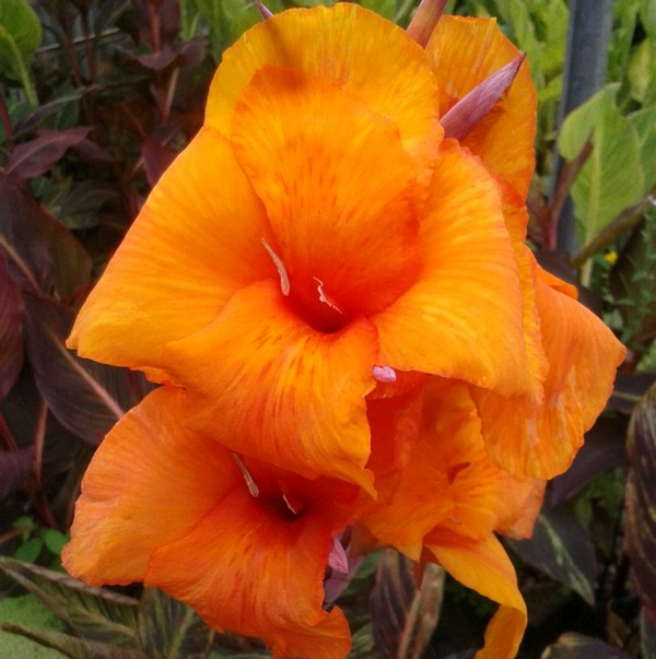 Indian Shot Canna Lily Canna 'Durban' - 3L Pot