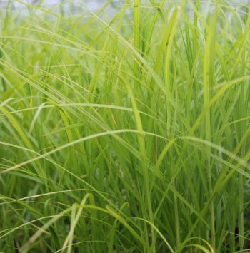 Palm Branch Sedge Carex muskingumensis - 3L Pot