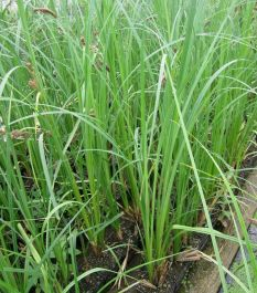 Large Greater Pond Sedge Carex riparia - 3L Pot