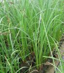 Greater Pond Sedge Carex riparia - 3L Pot