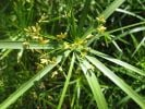 Large Umbrella Plant Cyperus involucratus - 3L Pot