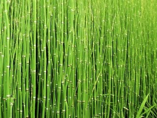 Large Scouring Rush - 5L Pot - Equisetum hyemale