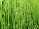 3x Scouring Rushes - 3x 1L Pot - Equisetum hyemale