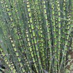 Barred Horsetail Equisetum robustum - 3L Pot