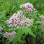 Hemp agrimony Eupatorium cannabinum - 3L Pot