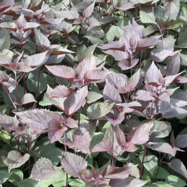 Large White Snakeroot Eupatorium rugosum 'Chocolate' - 3L Pot