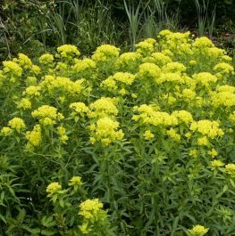 Large Marsh Spurge Euphorbia palustris - 3L Pot