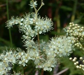Large Meadow Sweet Filipendula ulmaria - 3L Pot - Cut Back