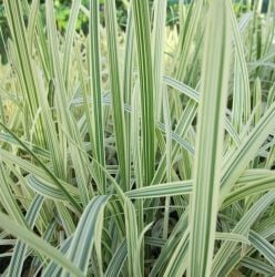 Variegated Reed Sweet-Grass Glyceria maxima 'Variegata' - 3L Pot