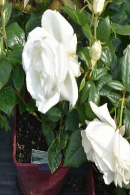 Silver Anniversary' Bush Rose - 5.5L Pot