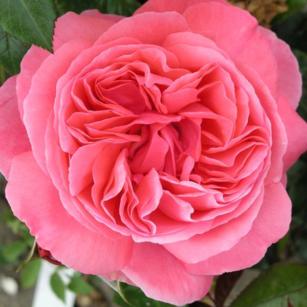 Special Anniversary' Bush Rose - 5.5L Pot